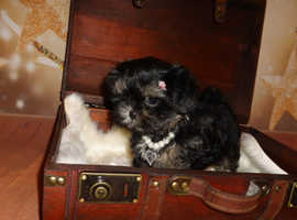 READY 5* LICENSED TINY IMPERIAL MALSHI LITTER