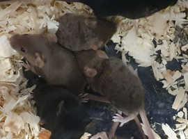Free Mice