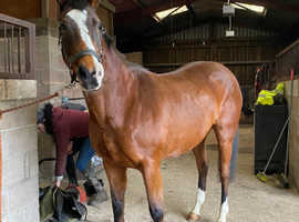 Sweet safe and sensible 16hh mare
