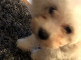 16 week old Bichon frise puppy - girl