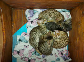 We have 3 Savannah kittens left for sale
