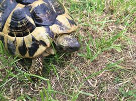 Female Hermann Tortoise