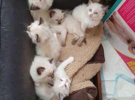 Ragdoll Kitten for sale my