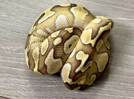 Baby royal pythons ready NOW