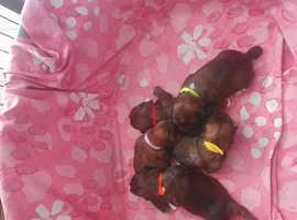 Stunning Chocolate Shih Tzu puppies
