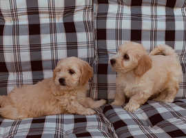Beautiful Cavapoo Puppies