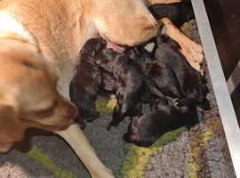 black an brown puppies