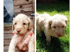 Cockapoo Dogs & Puppies For Sale & Rehome in Nova Scotia