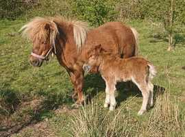 Shetland Mare with colt foal