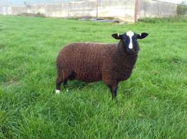 Quiet Zwartble ram lamb
