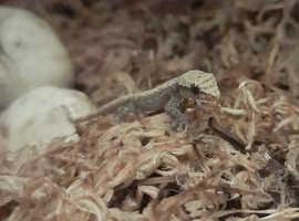 Baby mourning geckos