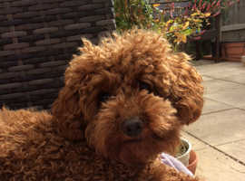 Tiny toy red poodles kc reg PRA clear parentage