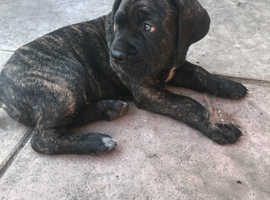 Cane corso male pup ready soon