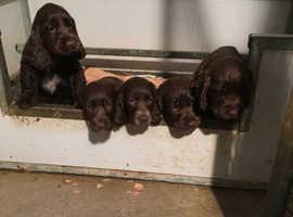 Show type chocolate puppies