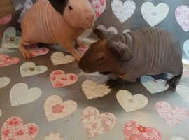 Stunning pedigree skinny pig