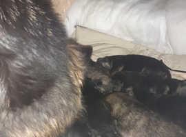 German shepard puppies 9 in total