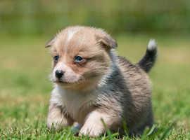 Stunning pembrokeshire corgi puppies