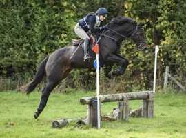 15'1 Beautiful bay homebred mare