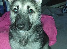10 week old German shepherd puppy called rex