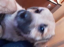 Border terrier x collie  bitch puppy