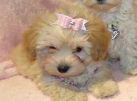 XXXXS Gorgeous F1 Maltese X Toy Poodle Apricot Maltipoo Girl Puppy