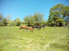 10 year old Welsh Mountain Pony mare for sale
