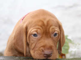 Home bred Hungarian Vizsla Puppies