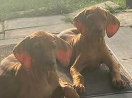 9 week old Hungarian Vizsla puppies