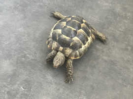 5 year old spur thighed tortoise for sale - Three available.
