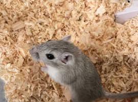 Gorgeous gerbil for sale