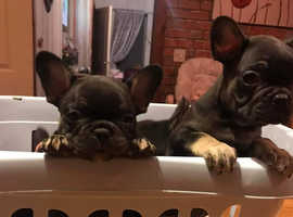 Beautiful French Bulldog Puppies ready to go 01/03/20 champion lines