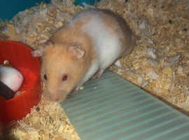 Male hamster for sale comes with cage and toys