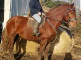 Fantastic registered Suffolk punch gelding
