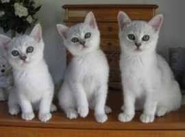 Lovely Outstanding pedigree Grand Champion Burmilla Kittens