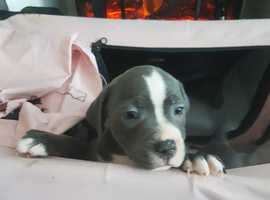 1 male blue Staffordshire bull terrier