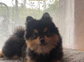 Pomeranian for sale x