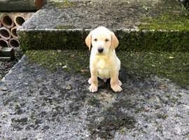 Penhill Labrador Puppies