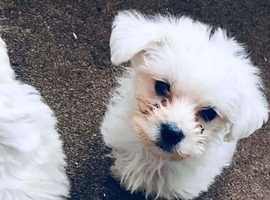 Westipoo puppy