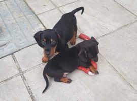 Dachshund puppies REDUCED PRICE