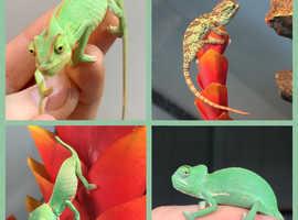 Chameleons for sale WOW