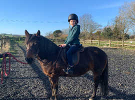 Registered new forest 12.3 mare 12 years