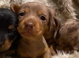 Kc Registered, Pra Clear Miniature Dachshund Pups!