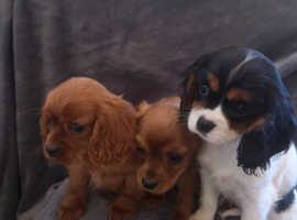 KC registered Cavalier Puppies both vaccinations