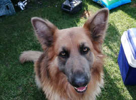 Blue and tan kc reg 3 year old for stud to suitable gsd bitches9