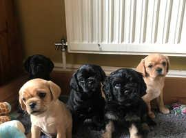 Pugalier puppies (Pug x King Charles Cavalier)