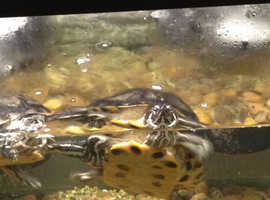 2 adult yellow slider turtles