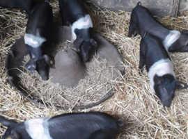 Saddleback & Tamworth Piglets