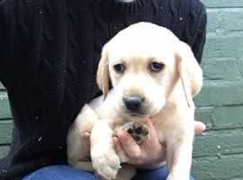 Yellow Labrador Female