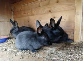 Giant baby rabbits