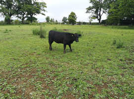 Aberdeen Angus x Dexter heifers and steers for sale